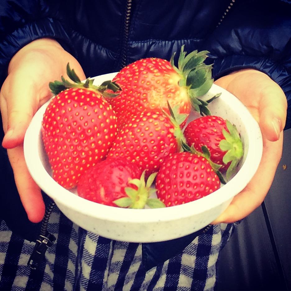 【千葉県山武市成東いちご狩り】数種類のイチゴ食べ比べ おすすめハウス5選